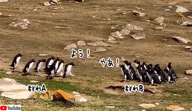 別の群れと交わったペンギンの混乱