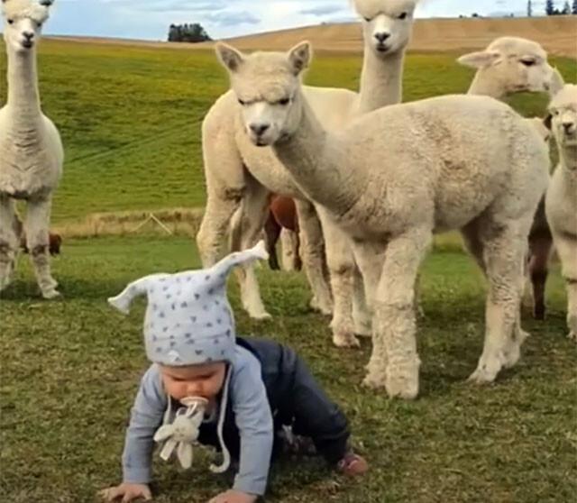 アルパカ軍団と人間の赤ちゃん