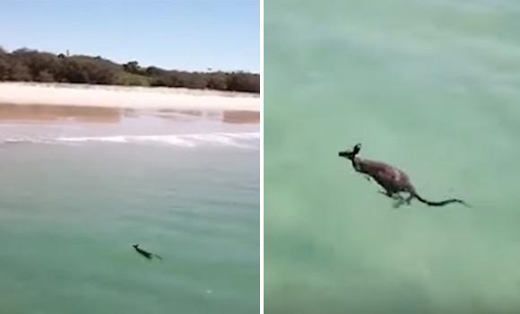 こいつ・・・泳ぐぞ!スイスイと海を泳ぐカンガルーが目撃される(もちろんオーストラリア)