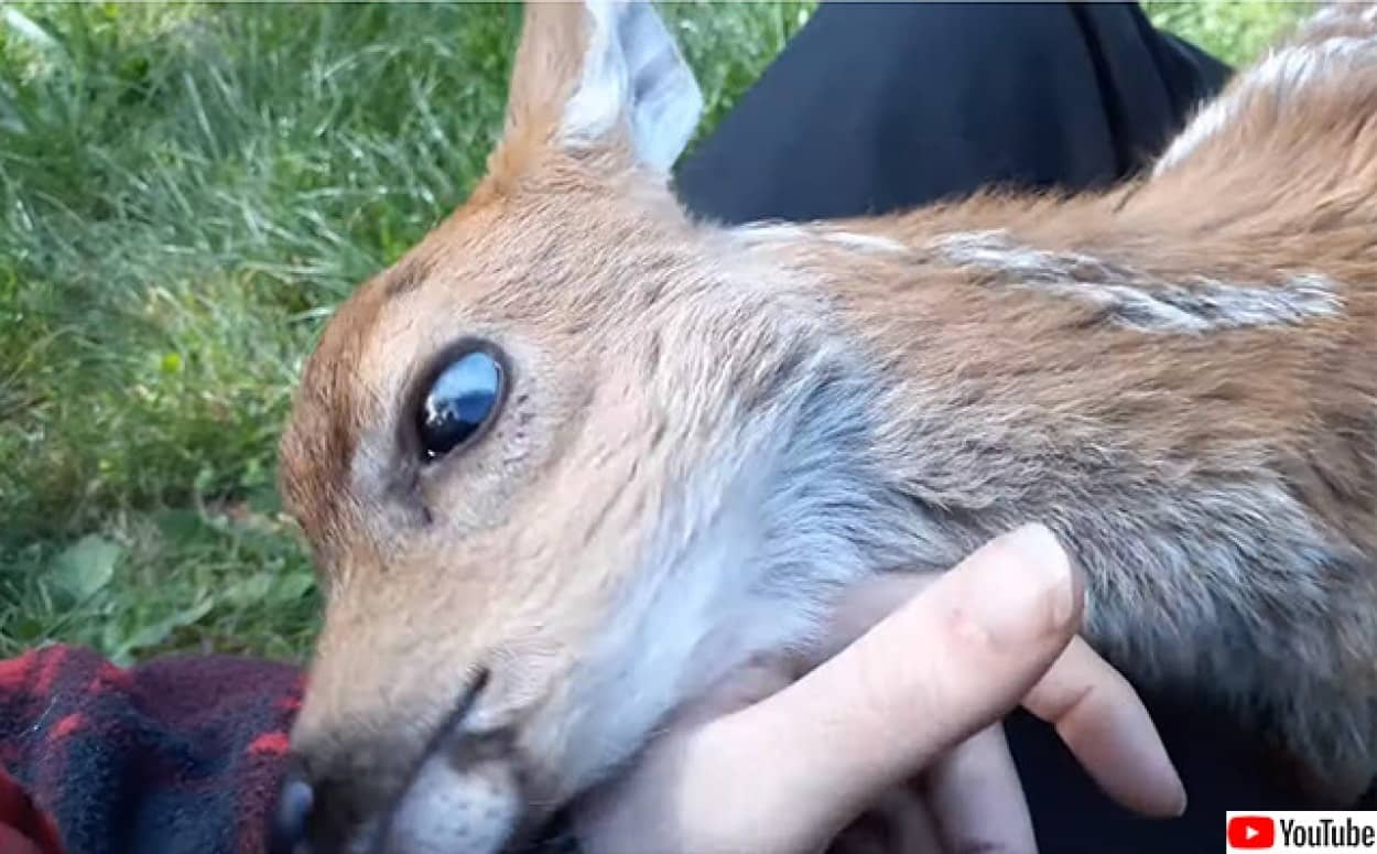 孤児となった鹿は保護してくれた人間にぺっとり甘える