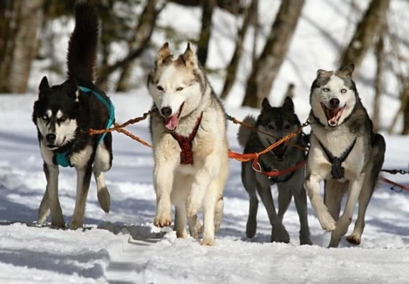 huskies-273409_640_e