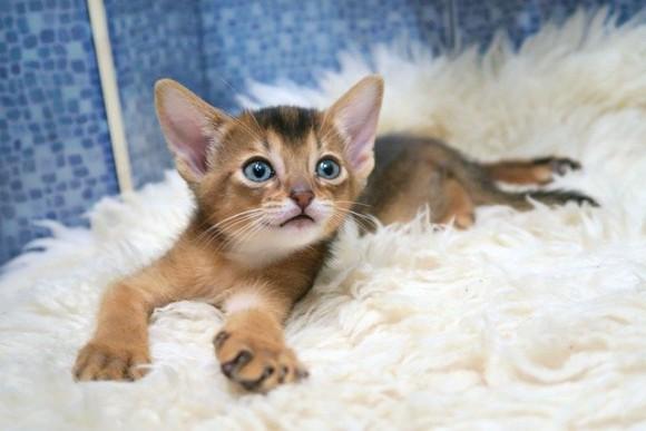 cats-abyssinians-4915993_640_e