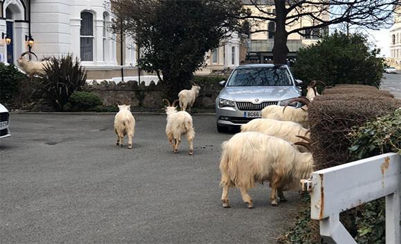 支配権は人類から山羊へ?コロナで封鎖中の町を120頭もの野生の山羊が占拠中(イギリス)