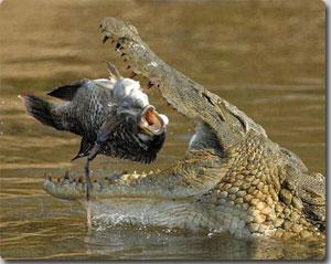 Nile-Crocodile-fis_1402372i