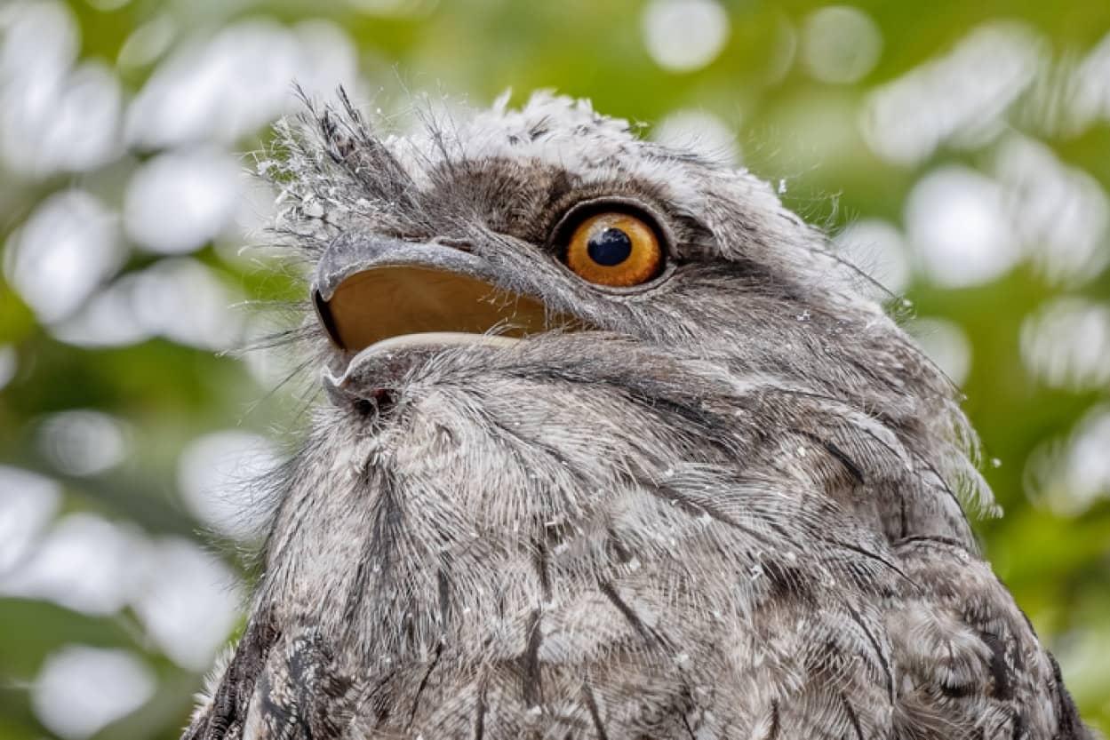 インスタ映えする鳥ナンバーワンに選ばれたのはガマグチヨタカ!iStock-1074749292