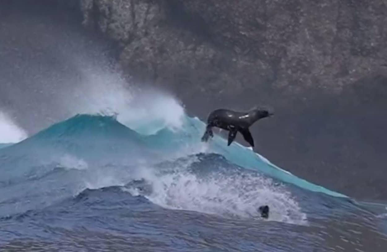 波に乗るアシカたちの貴重な映像