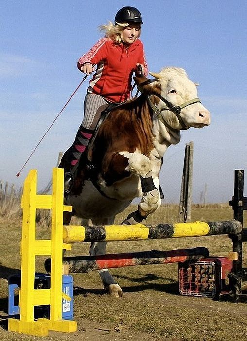 amazing_show_jumper_cow_09