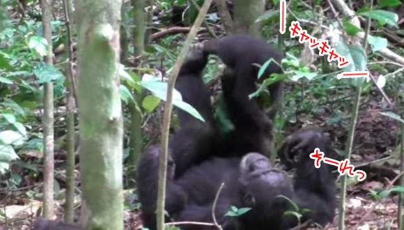 子供を喜ばせたいという親の愛情。チンパンジーも人間と同じように子供を足に乗せて「飛行機遊び」をする