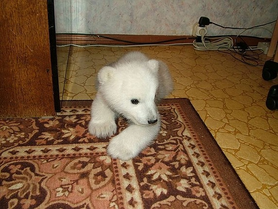 polarbearbabysaved-21