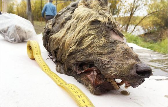 死後4万年が経過した更新世の巨大オオカミの完全な頭部がシベリアで発見される(ロシア)