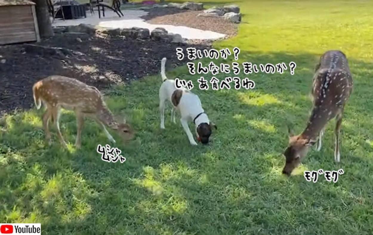 犬、鹿と一緒に草を食べる