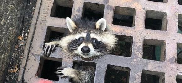 raccoon1_e