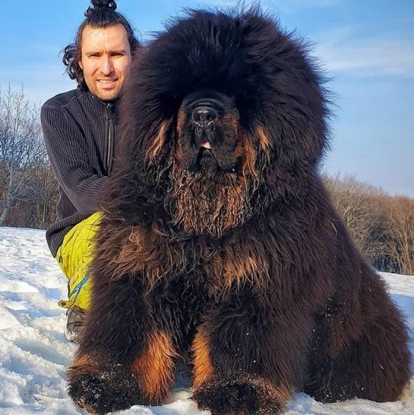 サイズ感も飼い主への愛情も巨大!チベタン・マスティフ犬にズームイン!