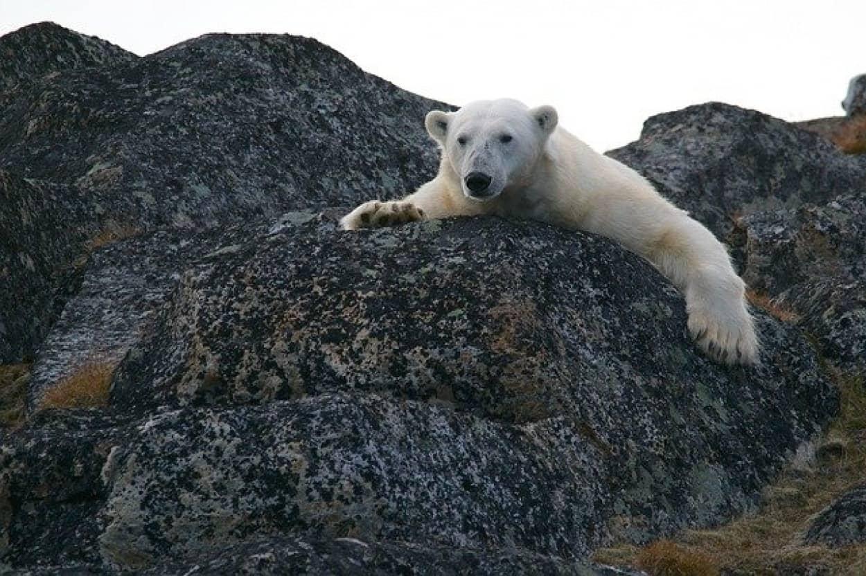 シロクマは武器の使い方を知っていた。氷の塊でセイウチを撲殺していたことが判明。