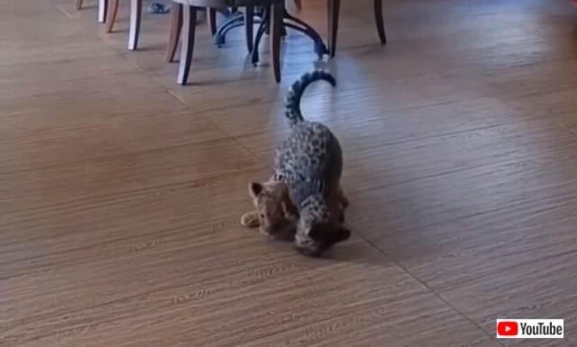 jaguarnlion2_640