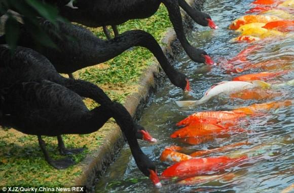 ブラックスワン(黒鳥)が一列に並んで鯉に餌付けをしているだと ...