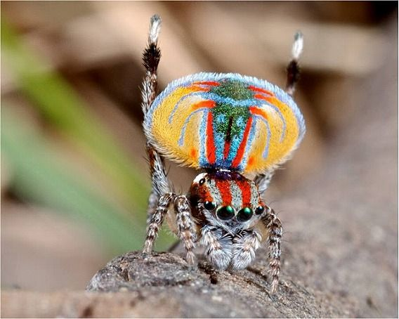 Peacock spider 14