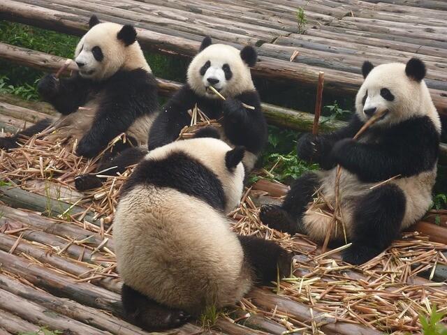 panda-317980_640