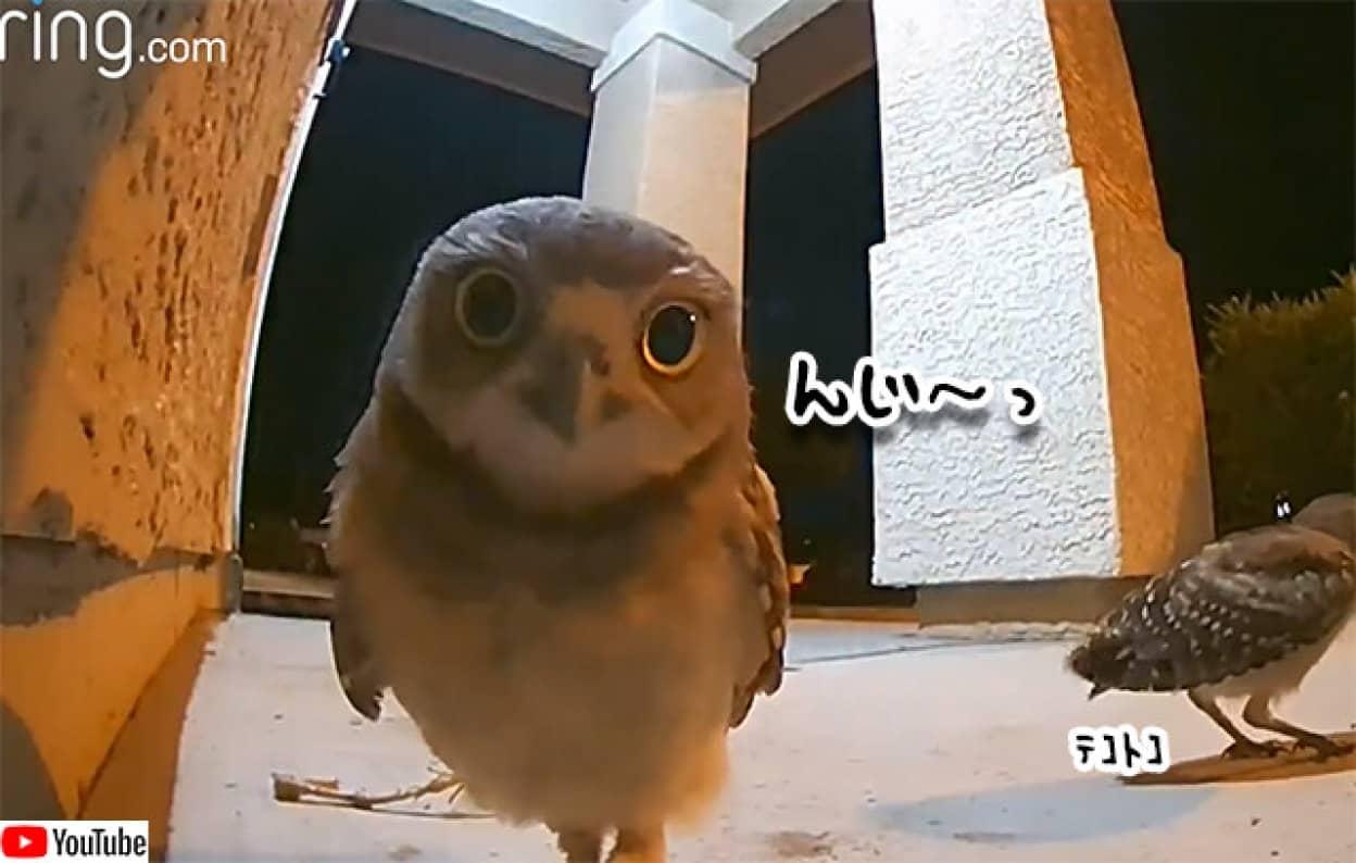 監視カメラがとらえた3羽のフクロウたちの愛くるしい姿