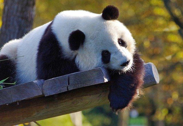 panda-3875289_640