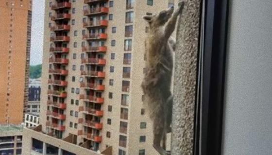 スパイダーはアライグマだった?25階建てのビルを上るアライグマが発見される。