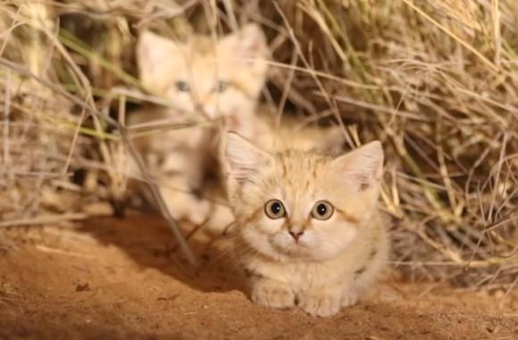 かわいすぎ確定。野生のスナネコの幼獣たちを発見。アフリカ史上初の撮影に成功(モロッコ)