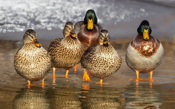 duck-1463317_640_e