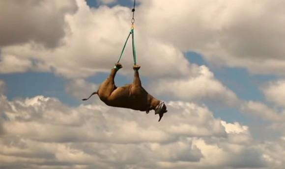 決して虐待ではない。サイを逆吊りで空輸する理由(アフリカ)