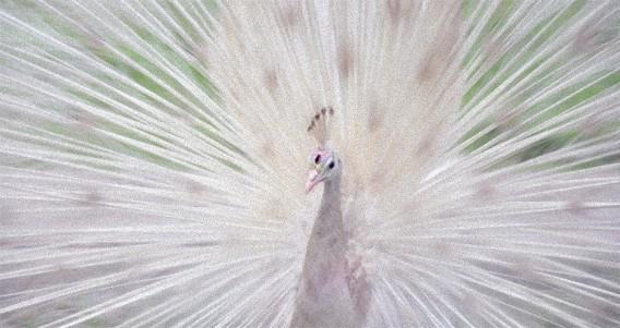 10の驚くべきアルビノ・白変種動物
