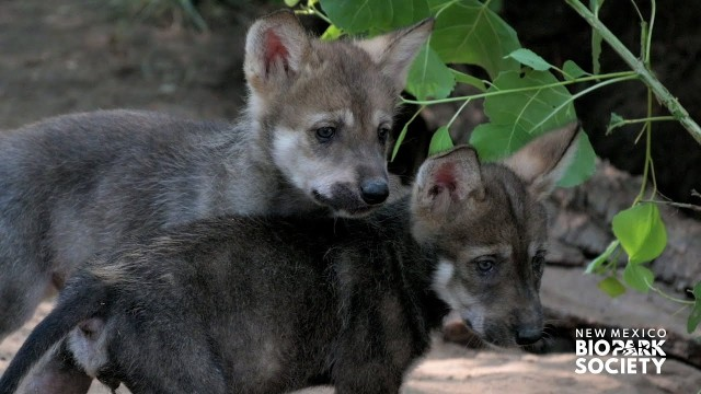 7匹のオオカミの赤ちゃんが生まれたよ!甲斐甲斐しく面倒を見るお母さん(アメリカ)
