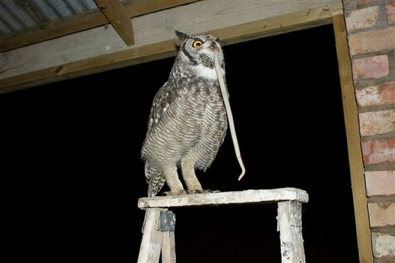 caring_owl_05