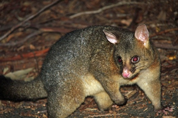 Common_Brushtail_Possum