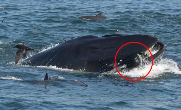 奇跡の脱出!?クジラに飲み込まれるも、口から逃げ出すことに成功。無事生還したダイバー(南アフリカ)