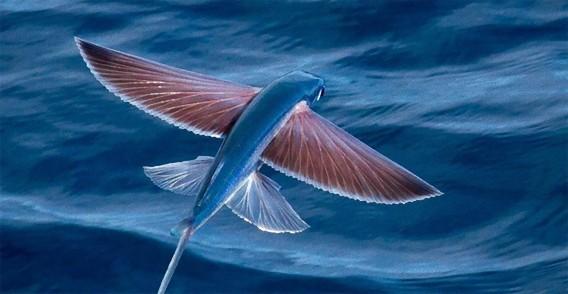 水空を制する。魚なのに空も飛べるトビウオってすごい!トビウオのかっこいい飛行写真