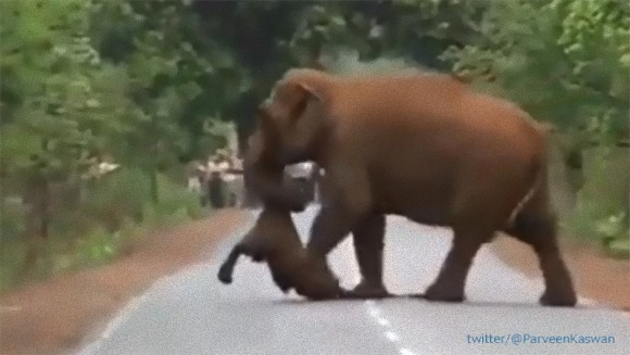 死んでしまった子象の死を悼み、亡骸を運びながら移動するゾウの群れの葬列(インド)