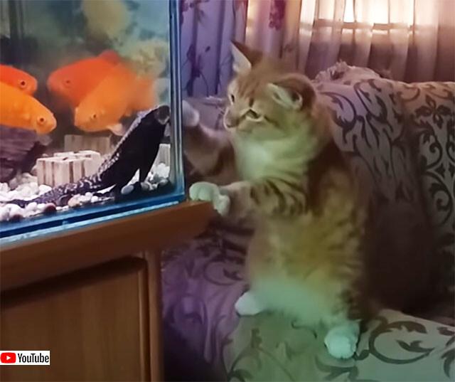 水槽にいる魚に戦いを挑む猫と、それを傍観する魚