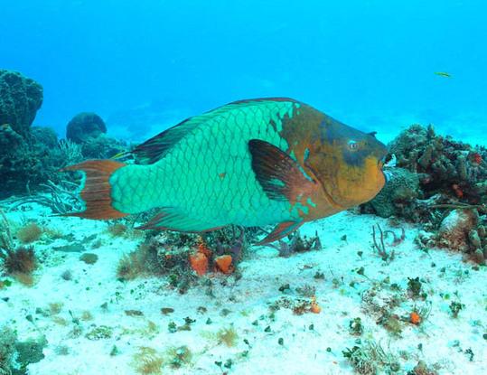 Rainbow-Parrot-Fish1