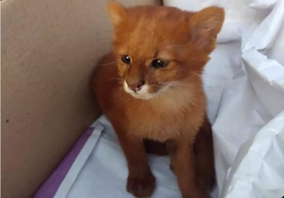 イエネコかと思ったらジャガランティ!死んだ母親のそばにいた2匹の子猫を保護してびっくり(アルゼンチン)