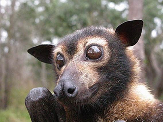 オオコウモリはごちそう。パプアニューギニア : カラパイア