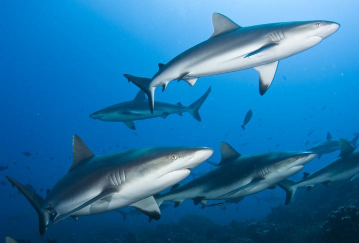 止まると死んでしまうサメはどうやって休むのだろう?その休息方法が明らかに
