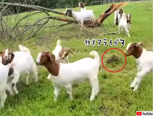 牧羊犬の仕事に憧れるアライグマ、ヤギを追う