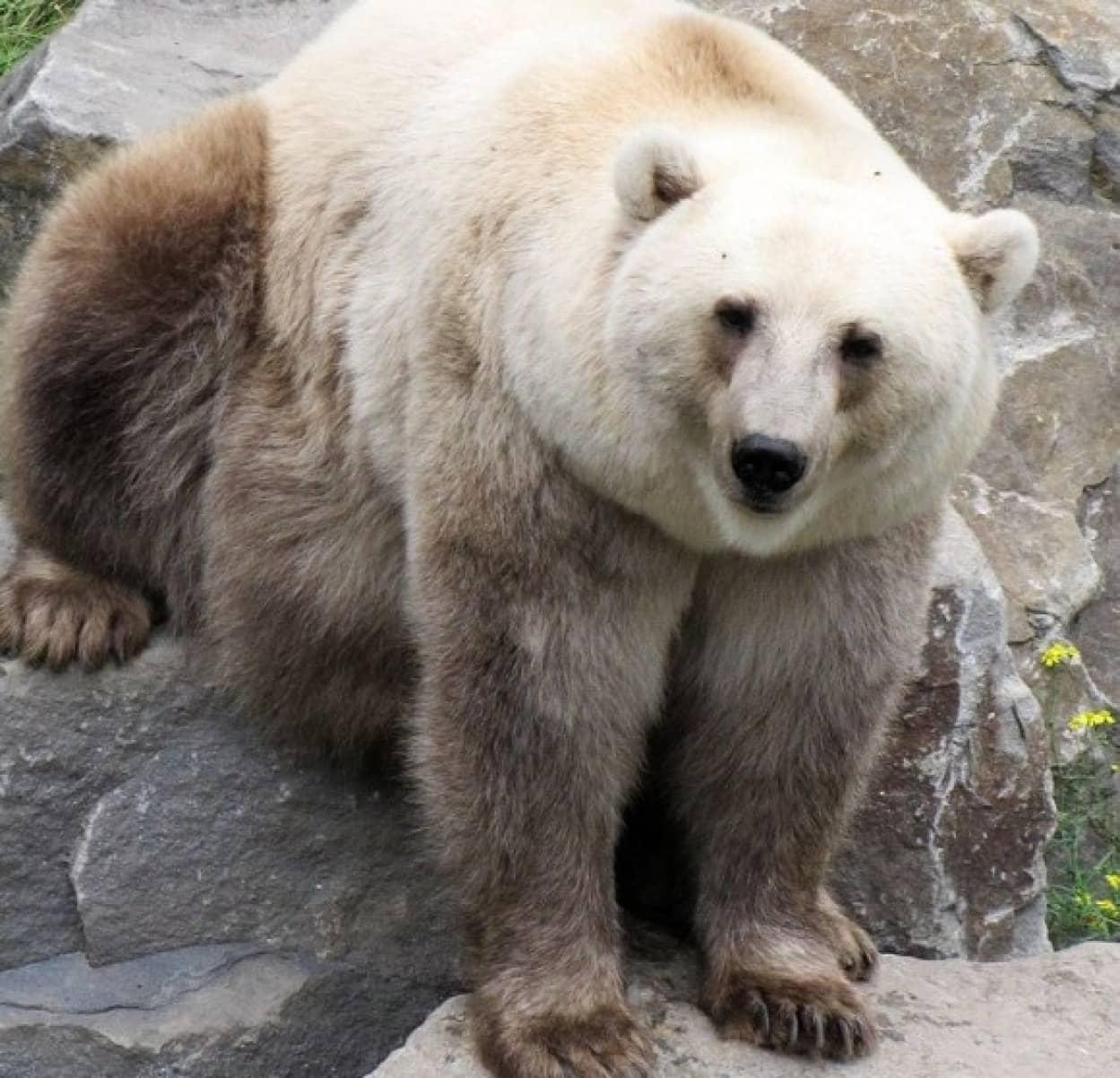 ホッキョクグマとハイイログマのハイブリッド種、ピズリーが増殖中