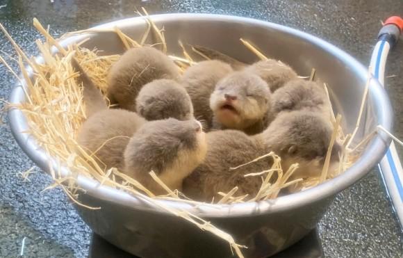 ちっちゃかわっ!5匹のコツメカワウソの赤ちゃん生まれたよ(ニュージーランド・オークランド動物園)