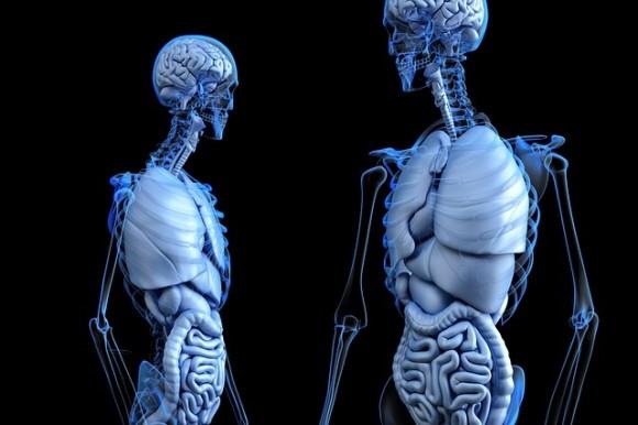 anatomical-2261006_640_e