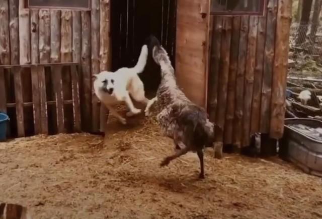 エミューと犬の仲良し追いかけっこ
