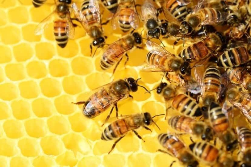 honey-bees-326337_640_e