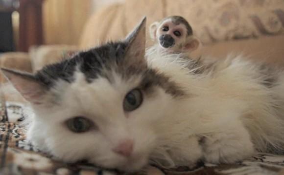 育児放棄されたリスザルの母親代わりとなった猫 、リスザルを背中にのせて守り抜く(ロシア)