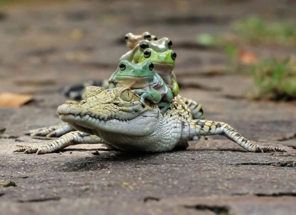 ワニ・カエル・エグザイル!ワニを乗りこなすカエル集団が激写される(インドネシア)※追記アリ