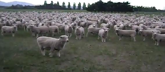 羊の決起集会が開かれる。「NO!」の代わりに「らメェェ!」で応答