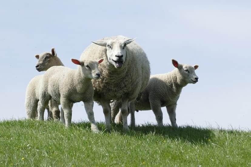 メス羊は草食男子が好き